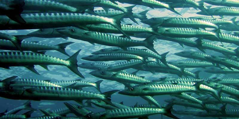 Barracuda Golfo de México