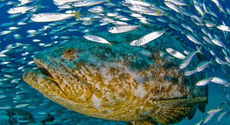 Mero en el Golfo de México
