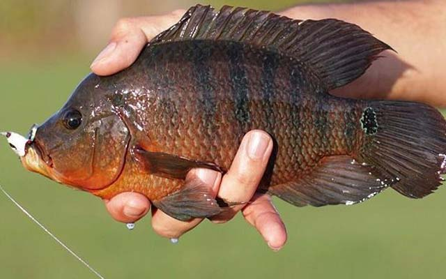 Especimen de Mojarra. Pesca en Nuevo León