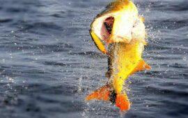 Pesca del Dorado en el Río Paraná